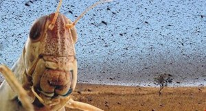 Locust-Swarm-Irish-Examiner